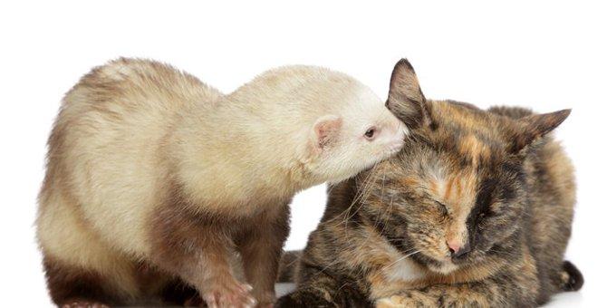猫とフェレットの相性と同居する時の注意点