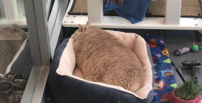 子猫を貰いにシェルターを訪れたカップルは巨大な体の猫を連れて帰った…