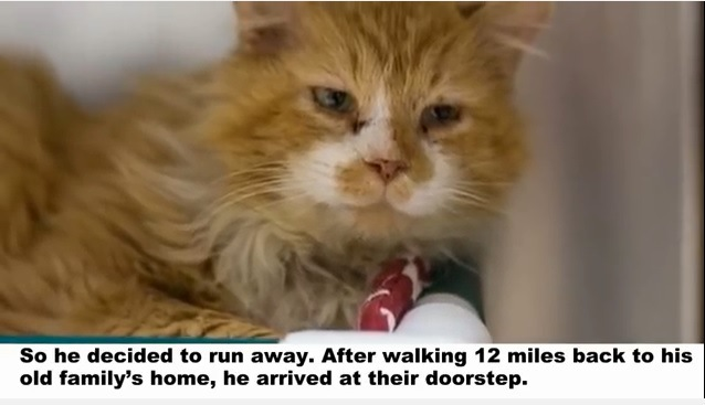 別の家に譲渡された猫は20㎞弱も歩いて元の家に戻ってきた…