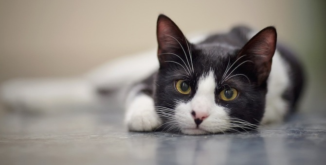 猫もチェリーアイになる!症状や治療の方法、費用まで