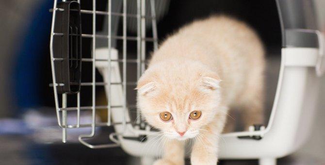 スコティッシュフォールドの値段の相場と子猫のブリーダー紹介