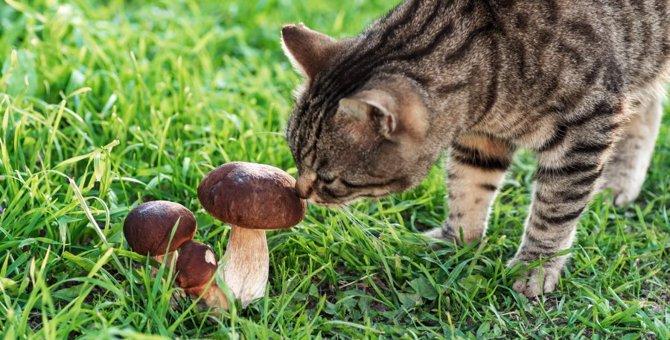 猫にきのこを与えるときに気をつけるべきこと5つ!食べると危険なものも…