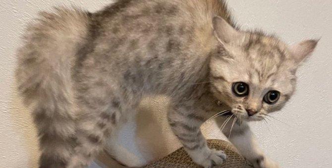 「なめんニャよ!」生後3ヵ月でも戦闘モード爆裂が可愛い子猫♡