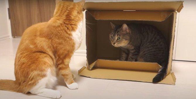 ダンボール争奪戦!必死に守り抜く猫ちゃん
