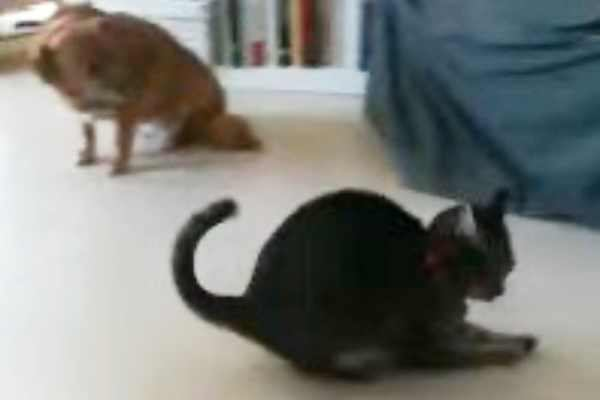 抱腹絶倒!めちゃくちゃ独特なボール遊びをする猫!