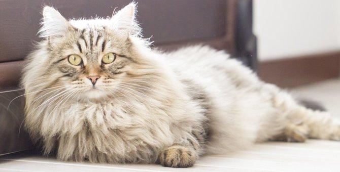 ロシアの猫種3選!特徴や性格などをご紹介