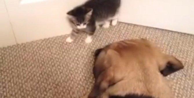 わんちゃんドキ!子猫ちゃんドキドキ!お互い怖がる子猫と犬がかわいい♡
