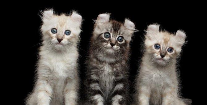 猫の「アメリカン」といえば?陽気な4つの猫種について