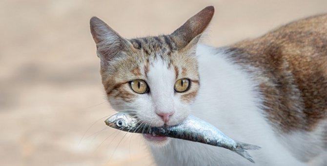「猫は魚が好き」これって日本だけ?!海外だとどうなの?