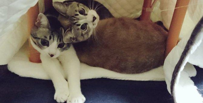 「片づけたい」「ダメ!」炬燵撤去反対する必死な兄弟猫に悶絶!