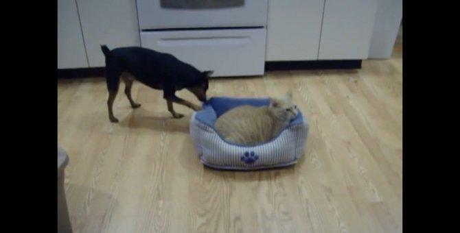 わんちゃんの退いて攻撃にも動じない!どっしり構える猫ちゃん