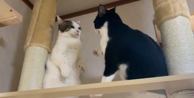 キャットタワーの上で乱闘!?やはり母猫は強かった…
