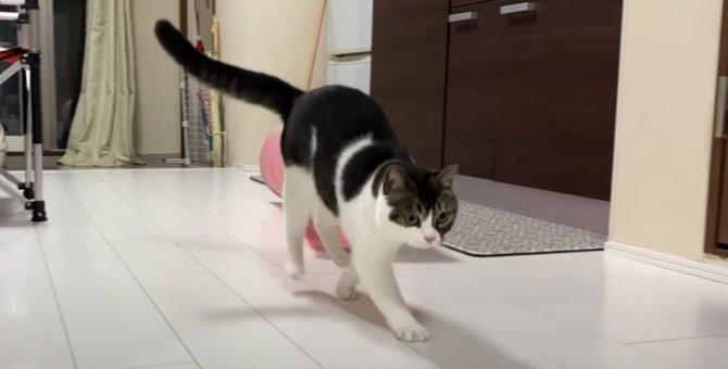 テンションMAXになった猫さんのステップが可愛すぎる♡