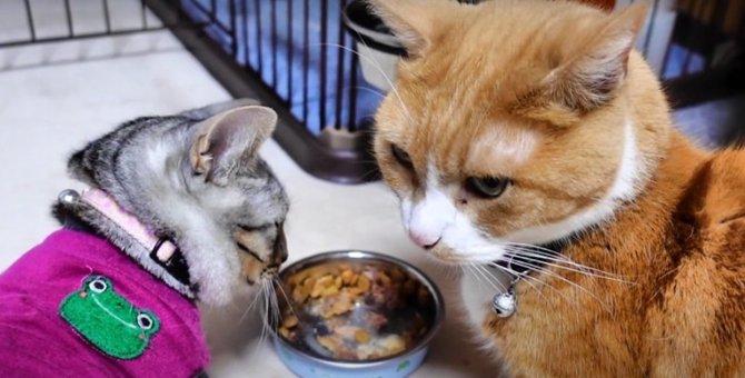 早食いの子猫ちゃん!先輩猫さんのごはんも食べた〜い♡