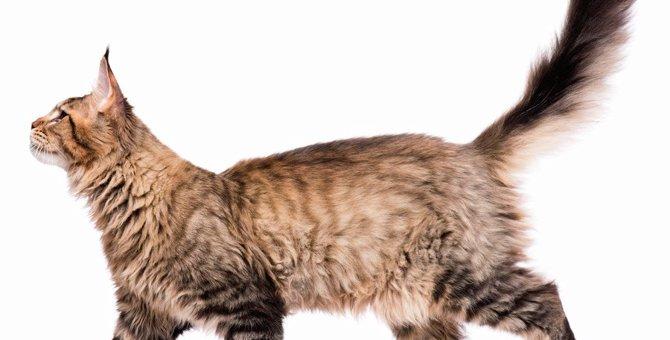 猫が『しっぽをピン』と立てる時の心理4選!緊張してる?それとも怒ってるの?