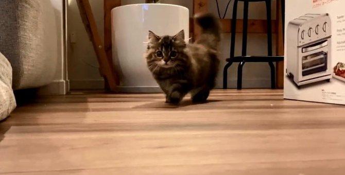 【話題】美猫ミヌエットさんが歩いているだけ♡ネット民ざわつく!