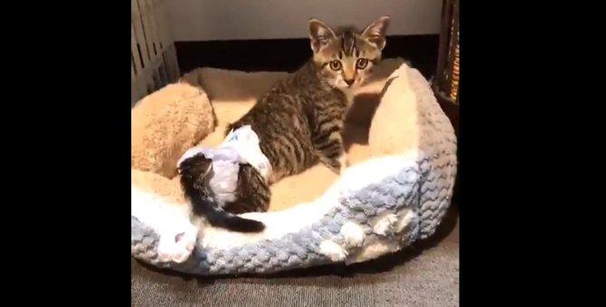 道端で動けなかった下半身不随の子猫「銀王」。保護され元気いっぱいに!
