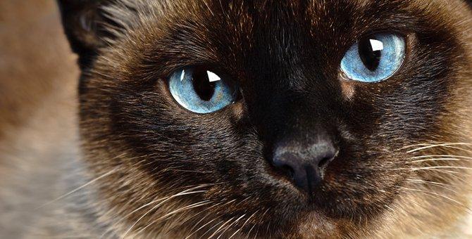 シャム猫の値段の相場と個体差で費用が違う理由