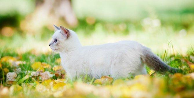 マンチカンの飼い方とその際の注意点