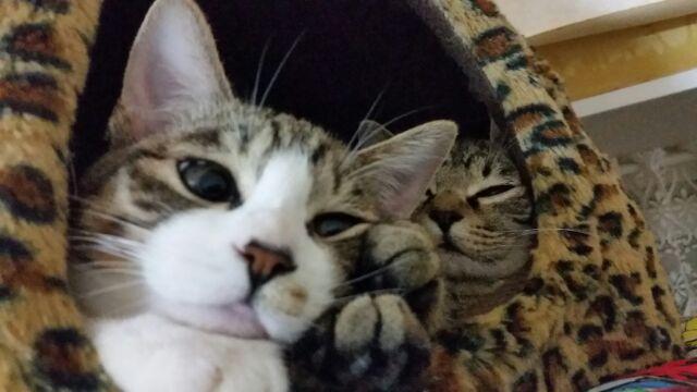 飼いやすい猫ってどんな種類?初めての方にオススメの4品種