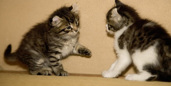 アメリカンカールの性格について、性別による違いや子猫の性格など