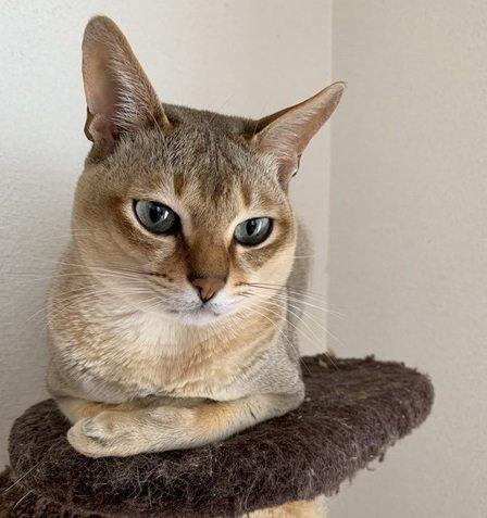 まるで妖精♡大人になっても小さい猫「シンガプーラ」って何者!?