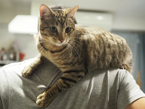 猫が飼い主の身体をよじ登る心理3つ