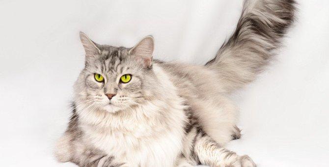 メインクーンはどんな猫?特徴や性格、飼い方などを紹介