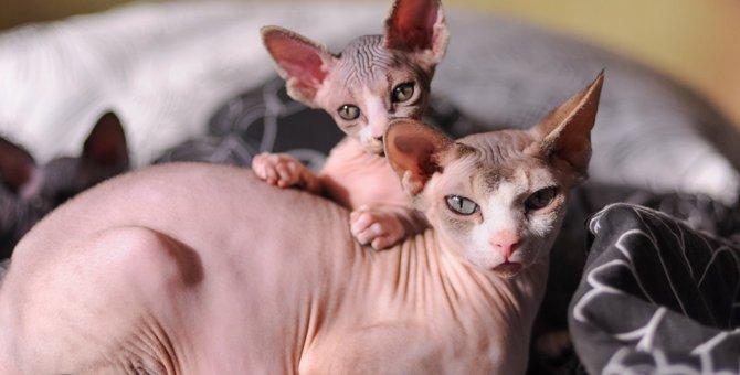 毛のない猫の種類5つ!特徴や飼う時のポイント