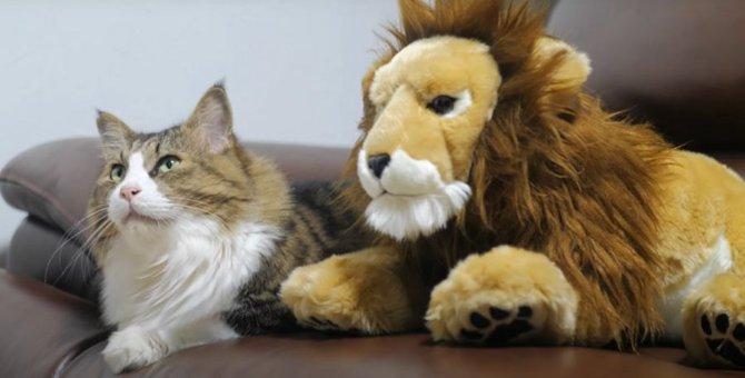百獣の王ライオンと仲良くなった猫ちゃん!