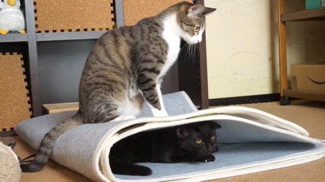 確信犯!猫の上に乗っちゃう猫ちゃん