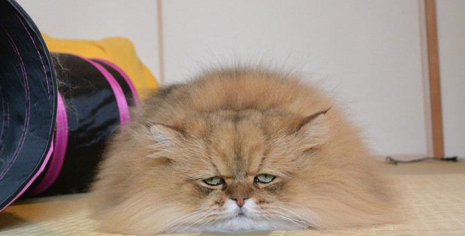 猫のふーちゃんが人気な理由とこれまでの活躍