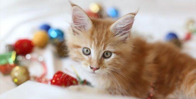 メインクーンの子猫を選ぶ時のポイントとは