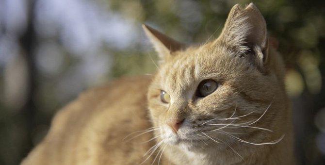 【ネコハカセ】『さくら猫』って何?耳カットの理由と目的