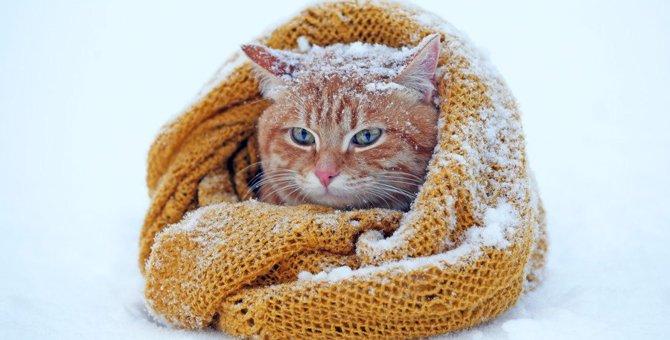 寒い地域出身の猫種にはどんな特徴がある?
