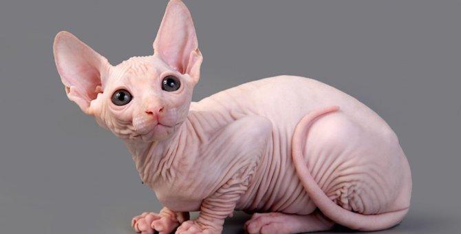 スフィンクス(猫)を里親でお迎えする方法、飼い方