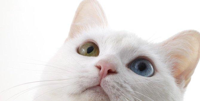 白猫にオッドアイが多い理由と注意すべき病気