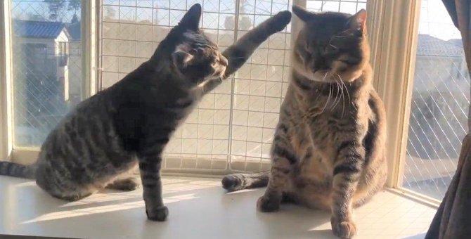 同じ模様の猫さん同士、仲が良いのか悪いのか?
