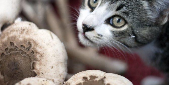 猫はしめじを食べても大丈夫?得られる栄養や与え方の注意点