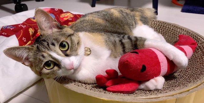 飼い主さんと猫ちゃん一緒にけりぐるみで遊ぶ!