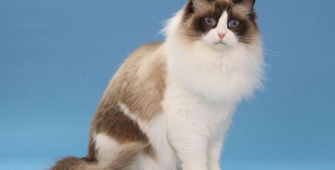 ラグドールの毛色は何がある?豊富なバリエーションがある猫の人気カラーとは