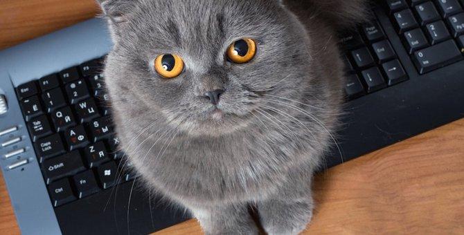 グレーのスコティッシュフォールドの子猫を迎える方法と飼い方
