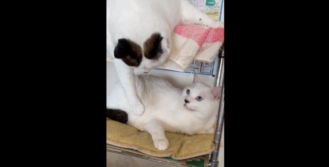 【父はつらいよ】父猫に高速パンチを繰り出す娘猫にネット民爆笑!