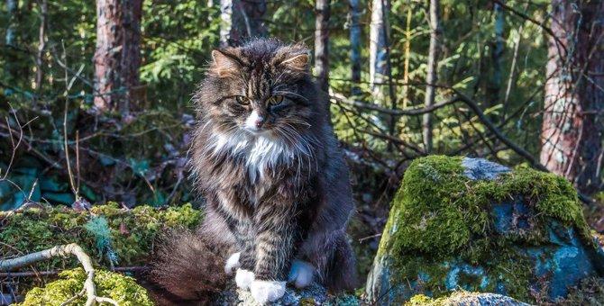 北欧に昔からいる猫、ノルウェージャンフォレストキャットと神話