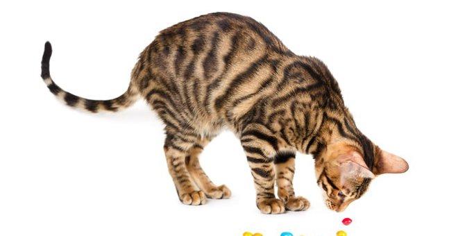 トイガーの性格と特徴、かかりやすい病気やその魅力とは
