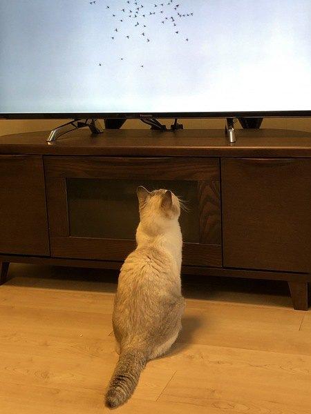 猫はテレビをどんな気持ちで見ているの?6つの心理