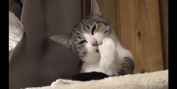 眠そうなのに寝ない猫ちゃんに催眠術をかけてみた!