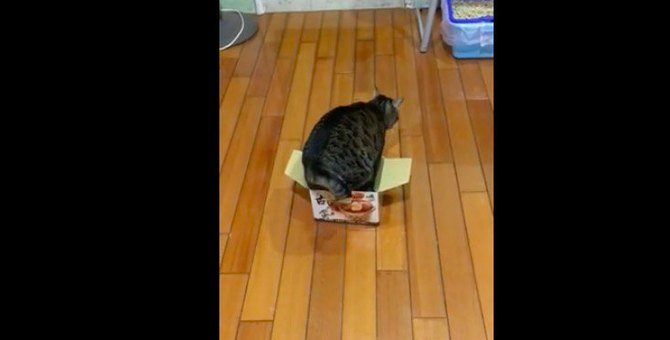 小さな箱にはいるためお尻をフリフリ♪グラマラスボディに悩む猫ちゃん