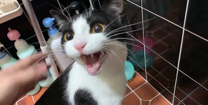 初めてのお風呂で猫ちゃん大絶叫!