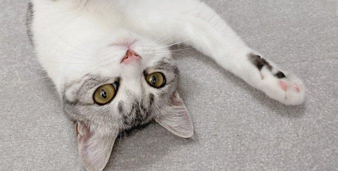 もちもちタイプ…?愛猫の体型について、獣医独自の見解に注目が集まる!